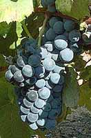 Bunch of Alicante Bouschet